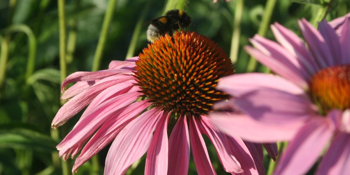 Mobilstrålning bidrar till insektsdöden